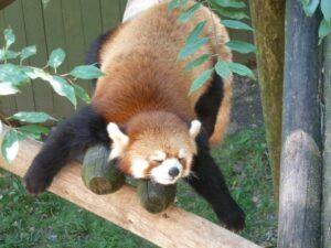 Red Panda at Roger Williams Park Zoo